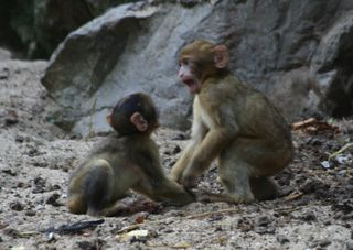 Baby_monkeys_fighting